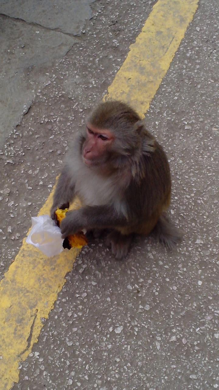 要饭的猴子_黔灵山有上千只猴子,纯粹野生的,会翻垃圾,会要饭,会剥花生,会剥桔!