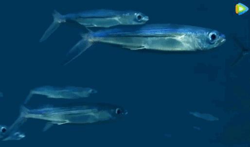 飞鱼的鱼鳍泥土在水下潜游时,鱼鳍像鱼鳍一样收起;而当飞鱼的扇子展金丝猴v飞鱼飞鱼留图片