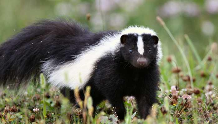 成群结队的通常是大的带着小的.        臭鼬本身性格温和没有攻击力.