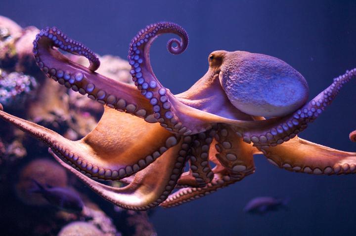 新手如何饲养章鱼——章鱼养殖从入门逐步进阶