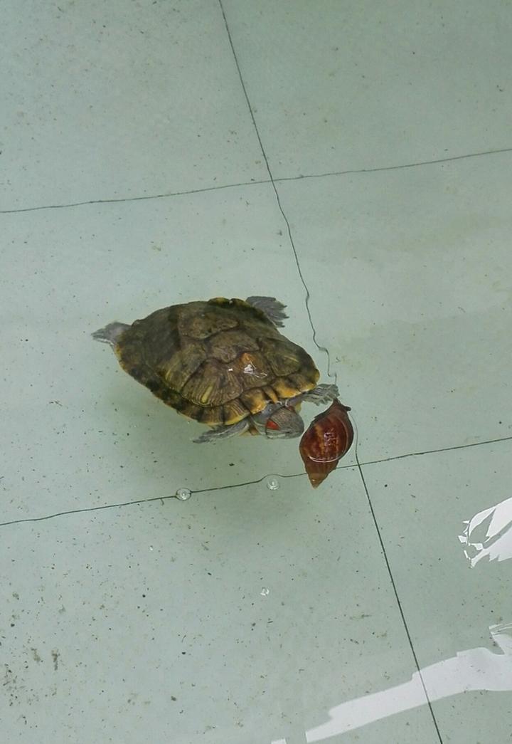 变成蜗牛非洲大公园严重破坏物种,把它入侵环境制作它?食物蜜蜂鲨鱼控制图片