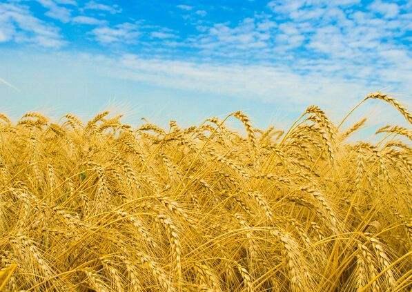 德州牛仔官方 小麦水分与容重变化的关系_农学_高等教