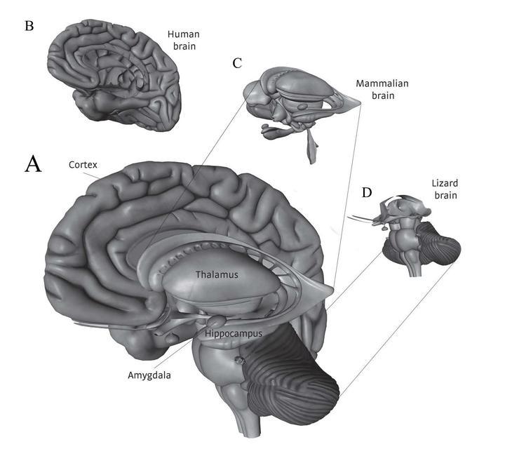 3. 三位一体的大脑的结构示意图【3】