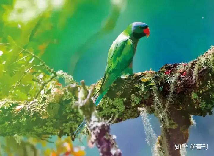 大紫胸鹦鹉图片