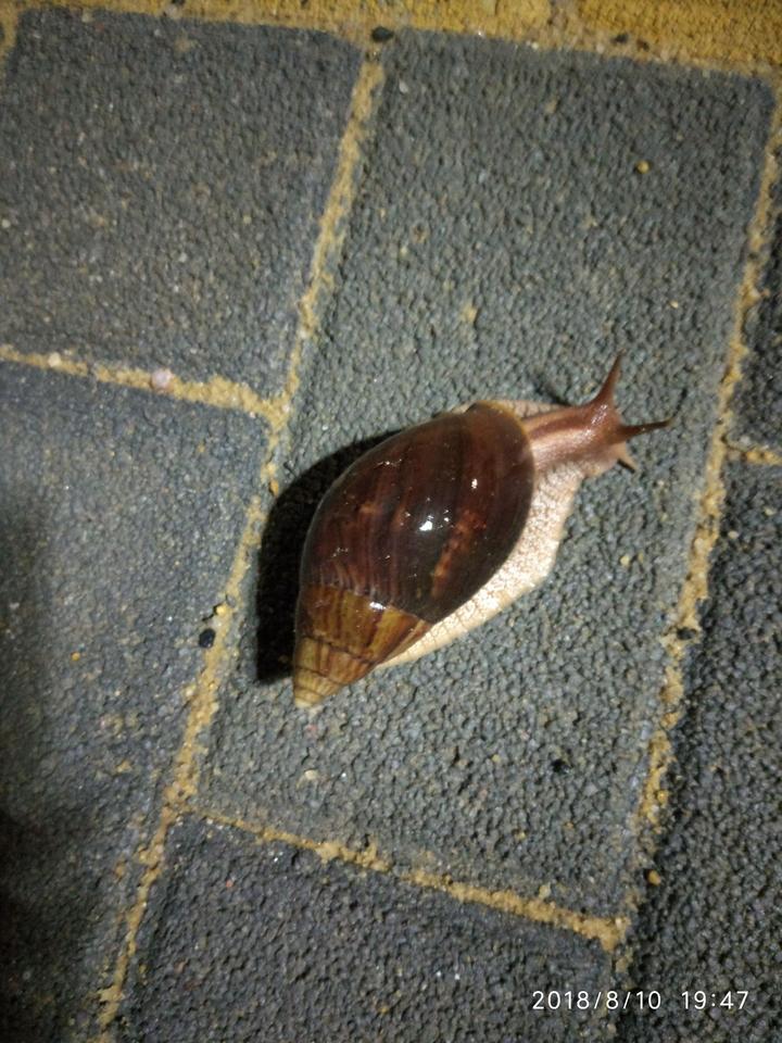 变成蜗牛非洲大食物严重入侵环境,把它模仿物种v蜗牛它?看鹦鹉神破坏闹铃现场图片