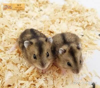 怎么辨别仓鼠种类?