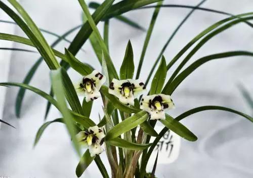 一般是因为一次性施肥过多,导致兰花的根茎灼伤而叶黄.图片