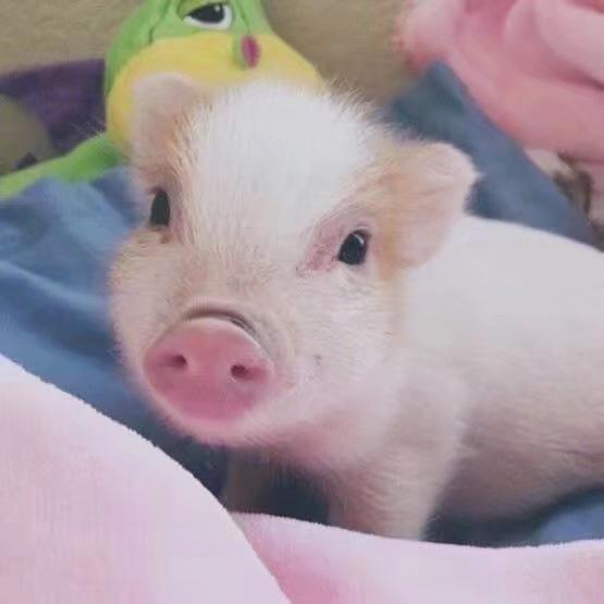 有哪些猪的搞笑图片或者表情?打搞笑图狼图片