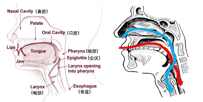 ↑ 人体口腔咽喉部纵切面和食物与空气的流向图,图源图片