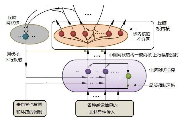 图2—3. 中脑网状结构向丘脑板内核的幅散投射示意图.
