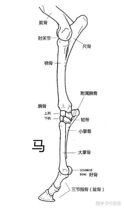 马腿结构图片大全