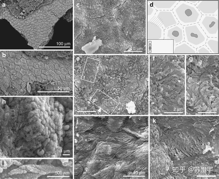 超微结构下,孔子鸟的样品细胞结构,图源:nature communicationsissn