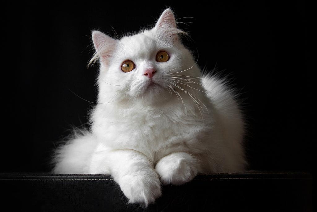 白猫的染色之旅图片