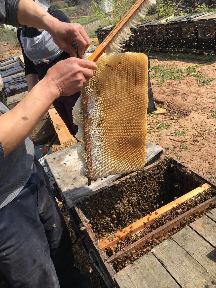 """爸爸我这是再""""打糖""""时候,老虎扫那些蜂脾上平头正在.蜜蜂哥敢与面的斗吗图片"""