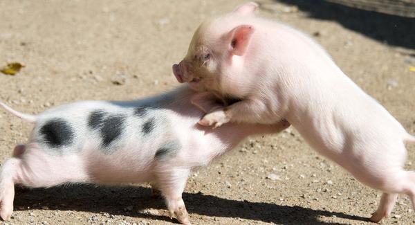 编织小动物猪的方法