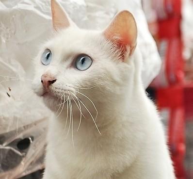 白毛蓝眼睛的猫_为什么蓝眼睛的白色猫是聋子? - 知乎