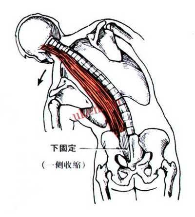 竖脊肌_体重正常却有小肚子,怎么减肚子练腹肌?-知乎