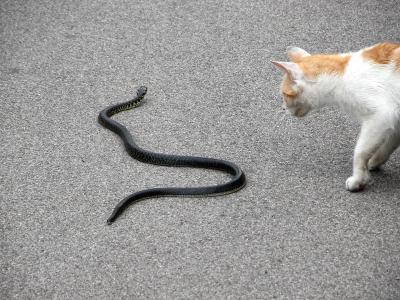 猫被毒蛇咬中_猫真的不怕蛇吗?反应最快的动物是什么? - 知乎