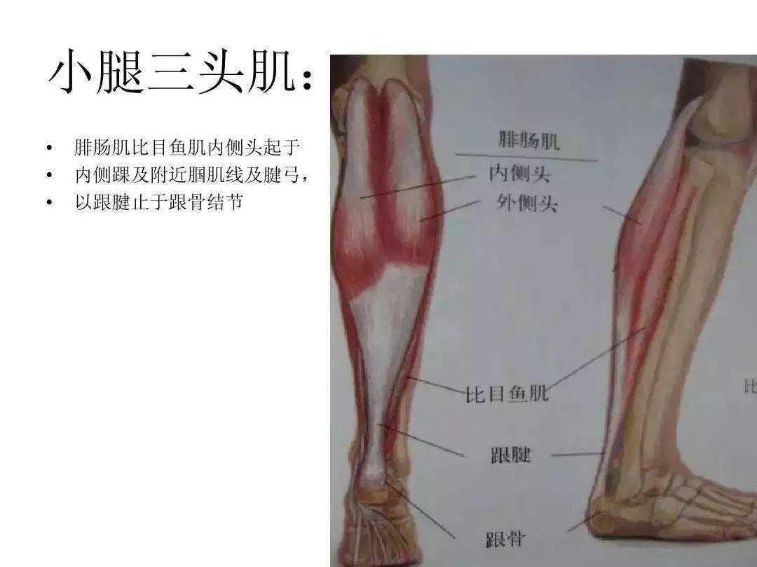 影响膝、踝的关键肌肉,膝外翻、腿粗的元凶  大腿膝盖肌肉变大