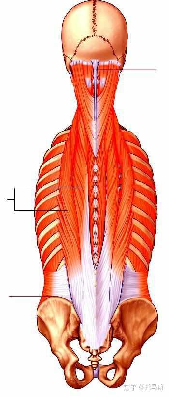 竖脊肌_囚徒健身说掌握桥的会有两条蟒蛇纵贯脊椎,能不能发个图片