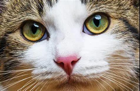 猫咪突然一只眼睛发红睁不开?警惕角膜炎5种常见症状(图1)