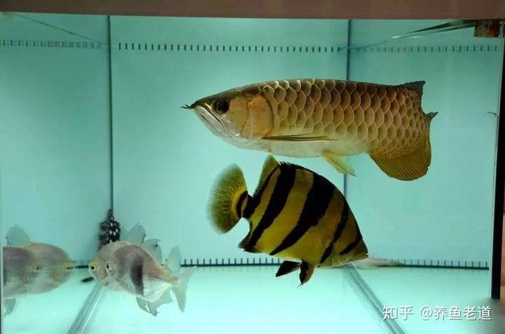 为什么大型鱼养水,可以使用闯缸鱼,小型观赏鱼就没有必要?(图1)