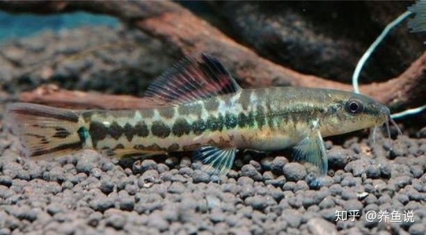 鱼缸清道夫鱼种类繁多,如何选,才能达到水清鱼靓的视觉效果?(图1)