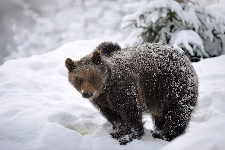 北极熊到南极会冻死吗(北极熊会冬眠吗)