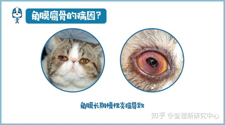猫咪角膜腐骨(坏死性角膜炎)是什么病?怎么治疗啊?(图7)