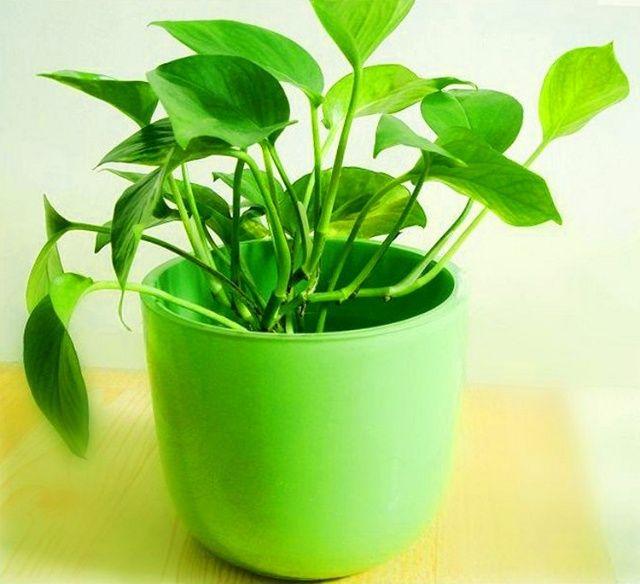 植物能除甲醛?綠籮能除甲醛?扒一扒那些除醛偽科學!