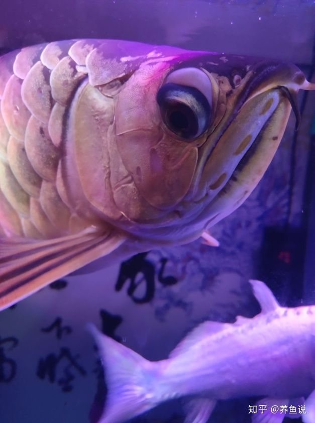 龙鱼眼睛结构特殊,养着养着就掉眼了,怎么给它们做预防治疗呢?(图1)