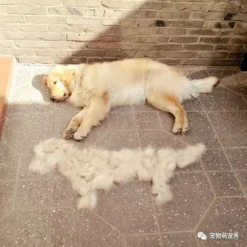 狗狗掉毛严重怎么办怎么处理?宠物狗掉毛很厉害的原因和解决方法(图2)