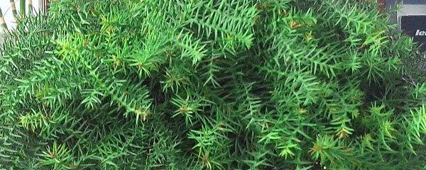 澳洲杉盆景怎么养护(澳洲杉好养吗)插图