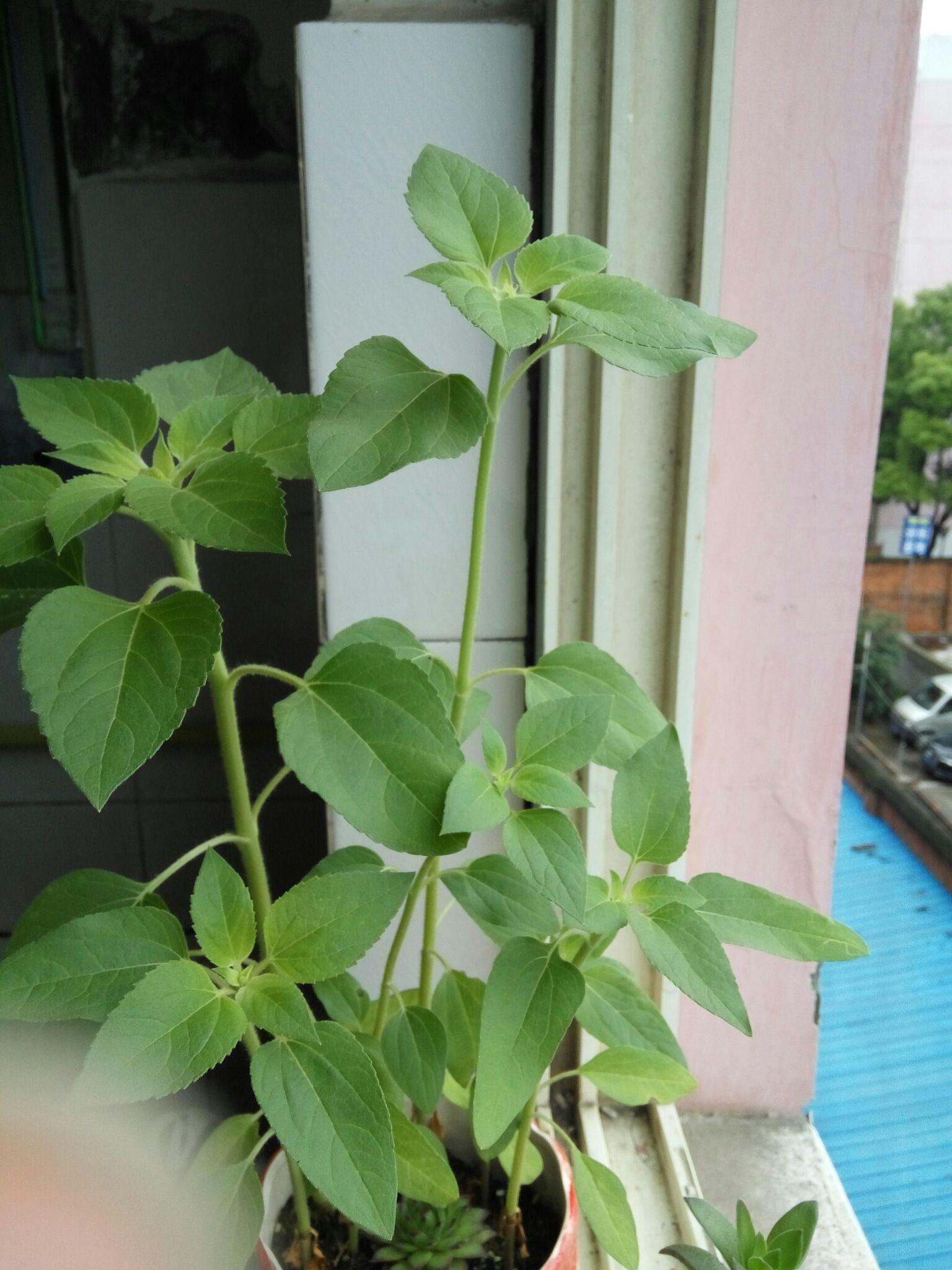 有向日葵种子但怎么样种最容易发芽呢?