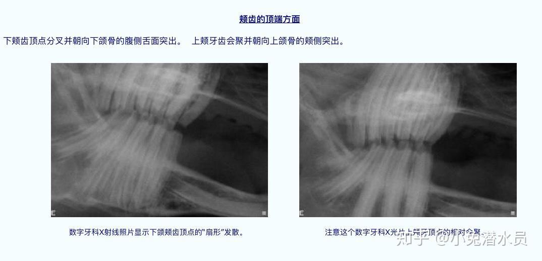 颊齿_兔子的牙齿系列(一)兔牙齿基础 - 知乎