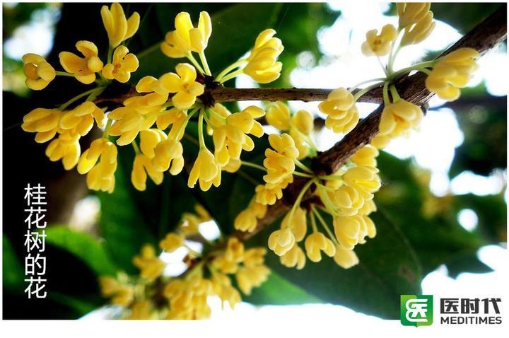桂枝树_小编在这里告诉大家:桂枝不是桂花树,切记!