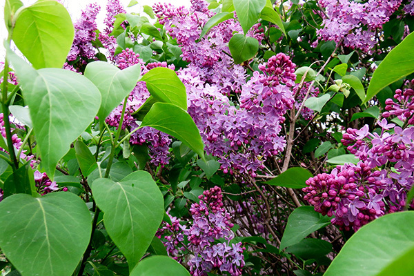 红千层和串钱柳的区别 南北方庭院常用的植物分别有哪些