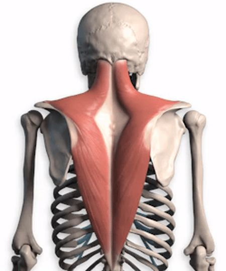 背部肌肉分布_如何有效锻炼上背部肌肉?-知乎