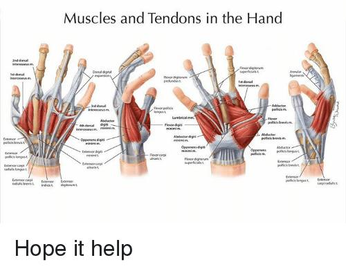 手肌腱功能解剖