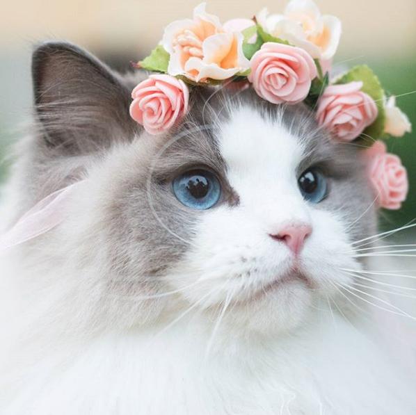 布偶猫_top1 布偶猫aurora