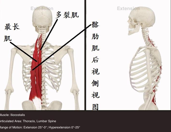 竖脊肌_核心肌群之竖脊肌的训练-知乎