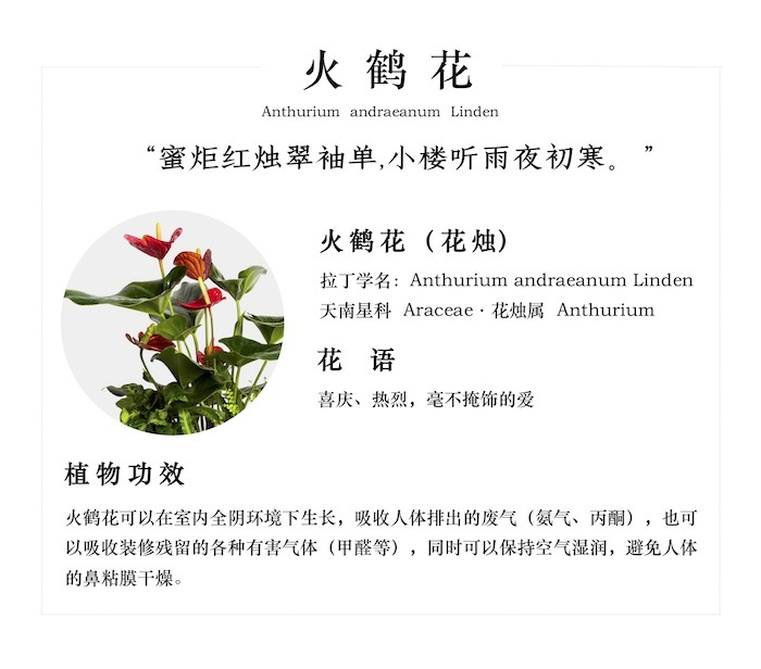 火鹤花的花语是什么_办公室适合养什么绿植盆栽? - 知乎