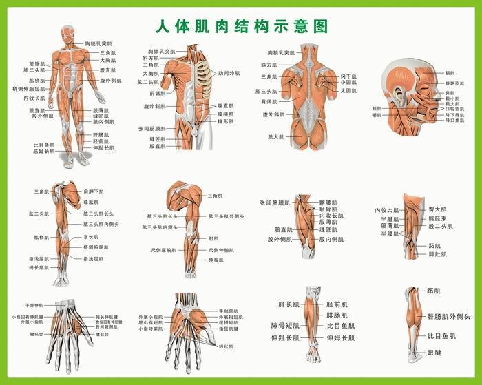 背部肌肉分布_健身教练资格证怎么考取?-知乎