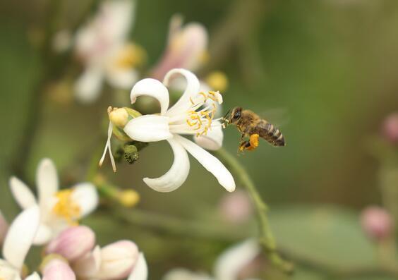 蜜蜂蜂蜜的簡單過程,蜜蜂怎么出來?