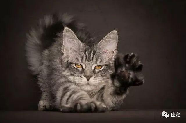 棕虎斑猫_缅因猫挑选知识大全(超实用) - 知乎