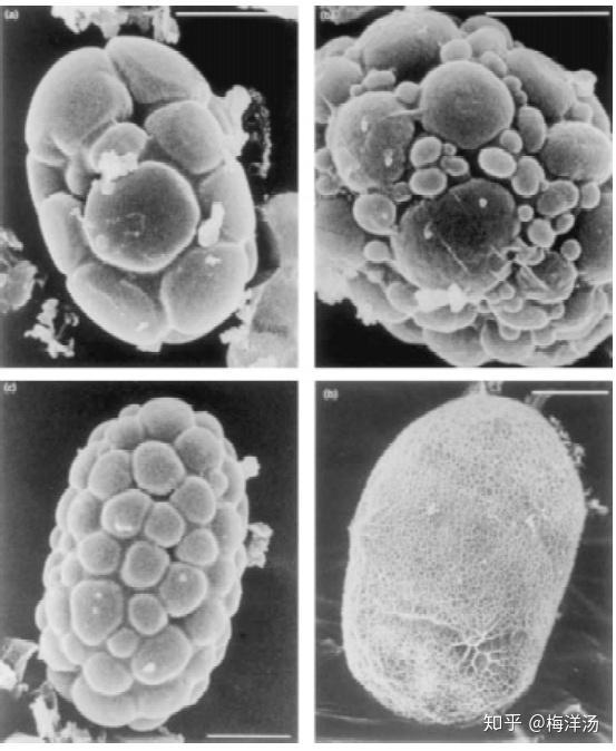 """""""重度结石细菌""""——小石子细菌Achromatium(2)"""