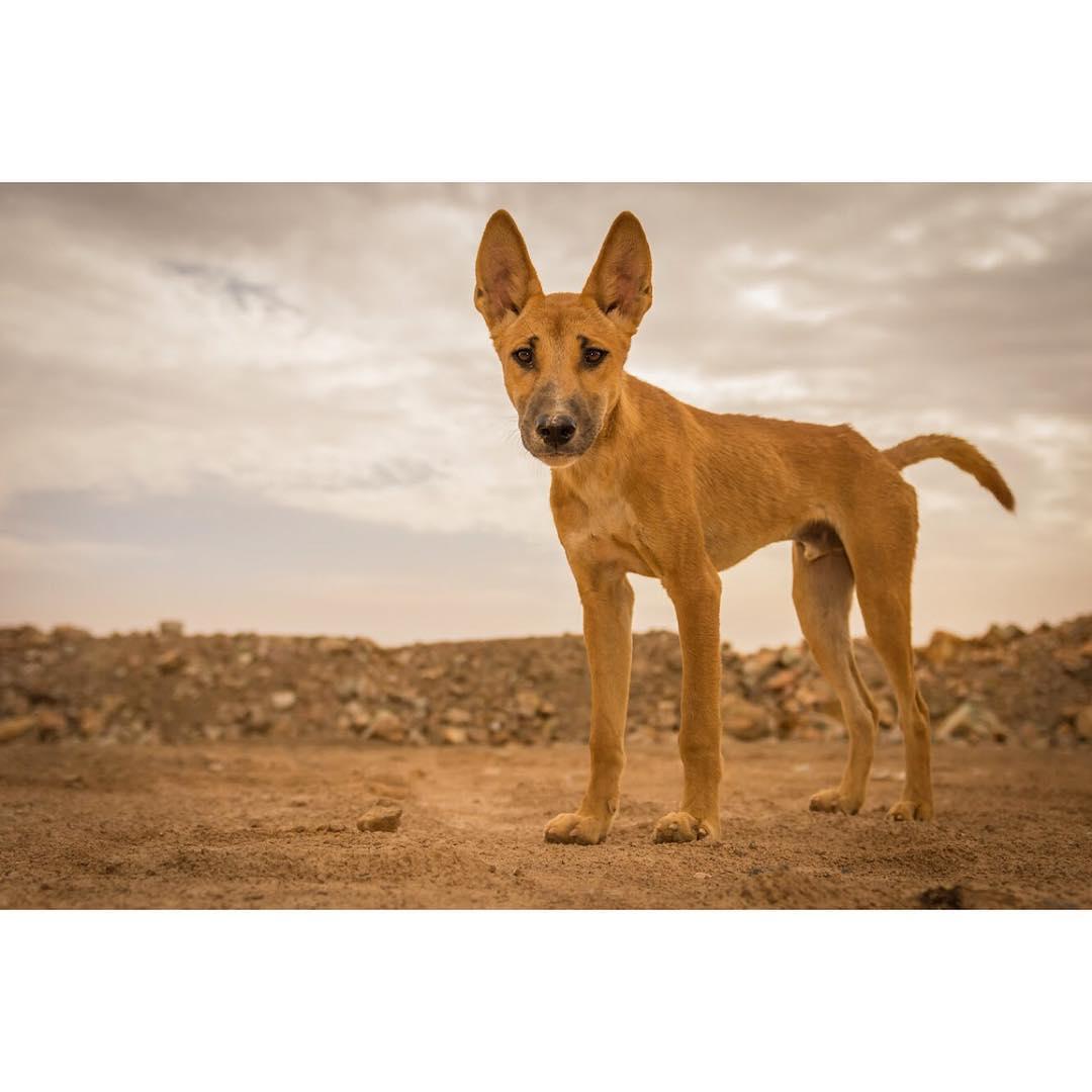 澳洲野狗--生态系统守护者