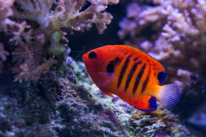 还没繁殖成功,仍需努力——繁殖海水神仙鱼