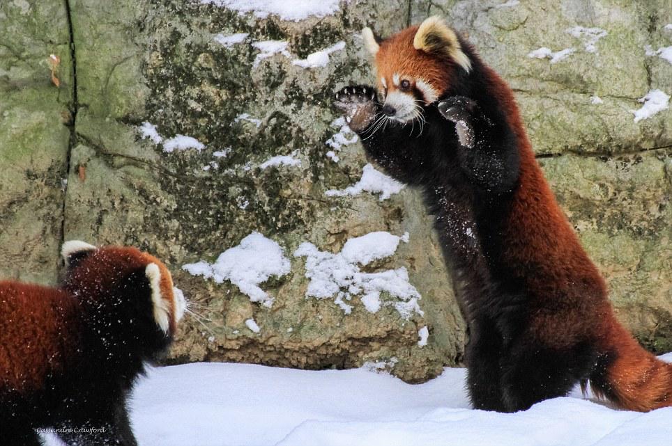 """可爱的大熊猫_睡姿奇特,打架时会""""站起来""""的小熊猫,就问你怕不怕! - 知乎"""