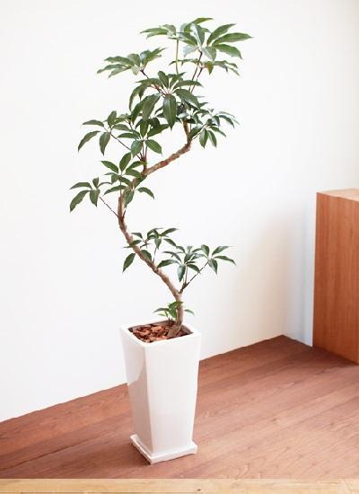 家居绿植推荐-日本大叶伞
